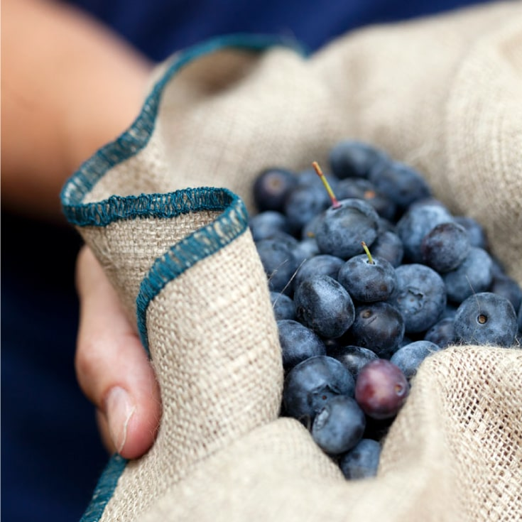 Blueberries at Vista D'oro Farms & Winery Langley British Columbia Canada