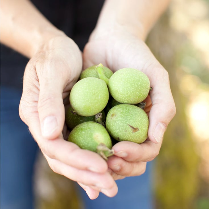 Green Walnuts at Vista D'oro Farms & Winery Langley British Columbia Canada