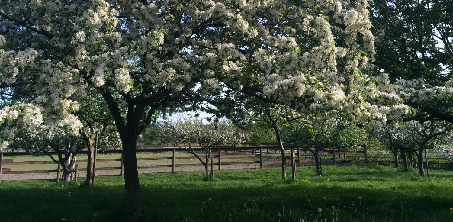 Apple Trees at Vista D'oro Farms & Winery Langley British Columbia Canada