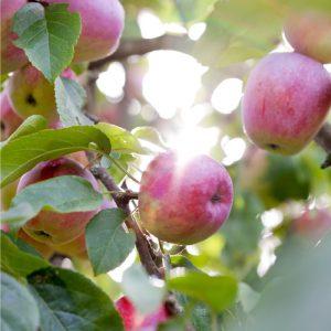 Apple Tree at Vista D'oro Farms & Winery Langley British Columbia Canada