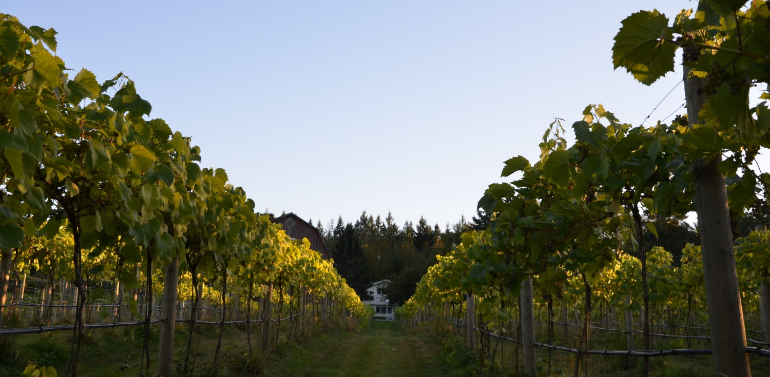 Vineyard Vines Vista D'oro Farms & Winery Langley British Columbia Canada