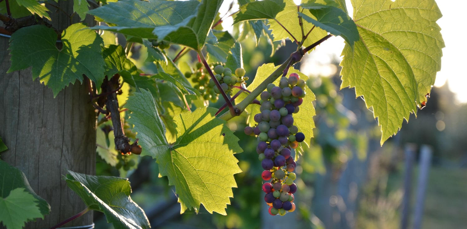 Vineyard Vines Grape Clusters Vista D'oro Farms & Winery Langley British Columbia Canada